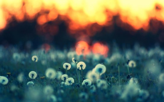 dandelions_2_hd_widescreen_wallpapers_2560x1600